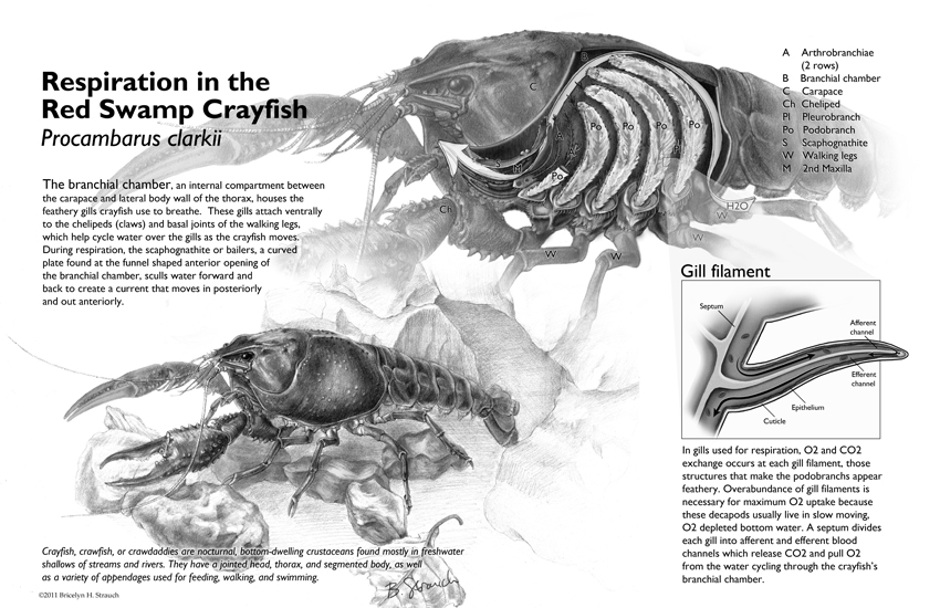 Respiratory Anatomy Of The Red Swamp Crayfish Art As Applied To