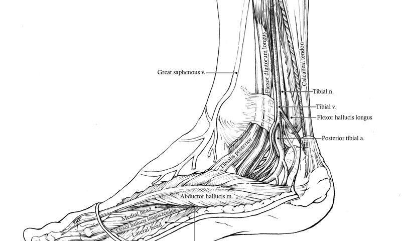 Anatomy Posterior To The Medial Malleolus Art As Applied To Medicine