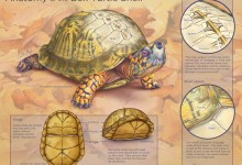 Anatomy of the Box Turtle Shell. Illustration © Caitlin Mock