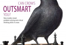 Editorial - Can Crows Outsmart You Illustration © Caitlin Mock