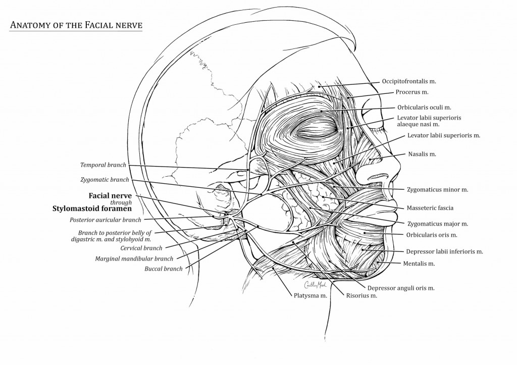 Facial Nerve – Art as Applied to Medicine