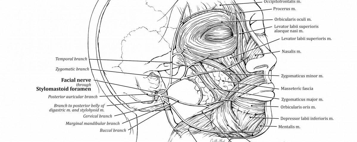 Facial Nerve – Art as Applied to Medicine