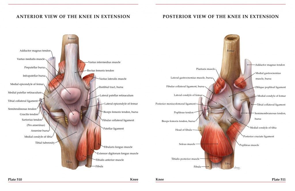 Anterior and Posterior Views of the Knee – Art as Applied to Medicine