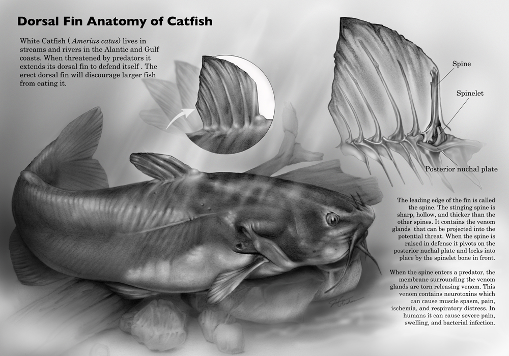 Dorsal fin anatomy of the catfish – Art as Applied to Medicine