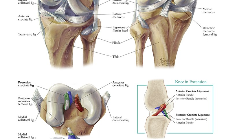 Functional Anatomy Of The Knee Art As Applied To Medicine