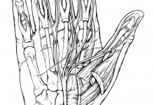 Median Nerve, Thomas Brushart. © Johns Hopkins University, Artist: Tim Phelps, MS, FAMI