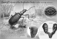Chemical Defenses of the Bombardier Beetle. Graphite and Adobe Photoshop. Illustration © Natalie Koscal