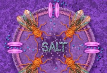 Salt Taste Journal Cover, Craig Montell. © Johns Hopkins University, Artist: Tim Phelps, MS, FAMI