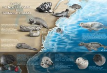 Seals of the East Coast of the U.S. and Southeast Canada. Photoshop. Illustration © Kyoungran Eun