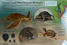 Common Turtles of the Chesapeake; Project for the National Aquarium. Photoshop, Illustrator. Illustration © 2012 Amy Dixon
