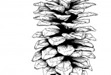 Pine Cone. Illustration © Amy Zhong