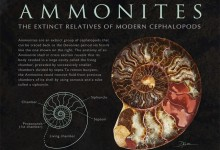 Ammonites. Photoshop, Illustrator. Illustration © Amy Dixon
