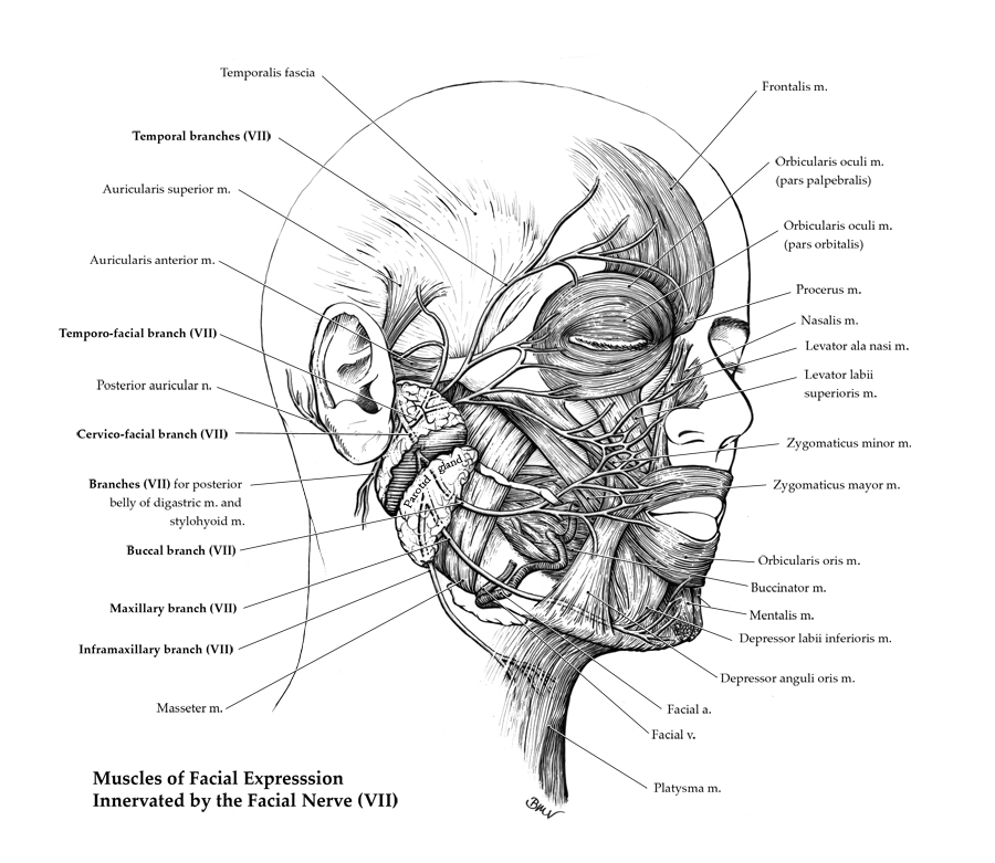 Branches Of The Facial Nerve And Muscles Innervated Art As Applied