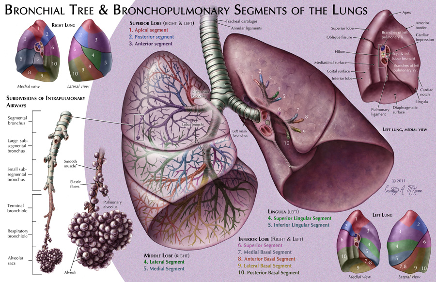 Bronchial Tree & Bronchopulmonary Segments of the Lungs – Art as ...