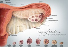 Stages of Ovulation as Seen in Posterior View, Illustration © Stephanie Sadler