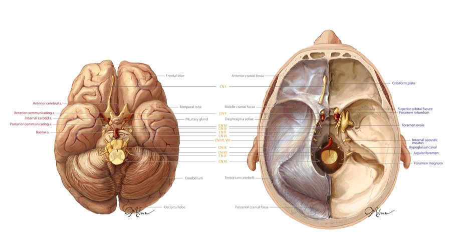 Anatomy Of The Brain And Cranium Art As Applied To Medicine