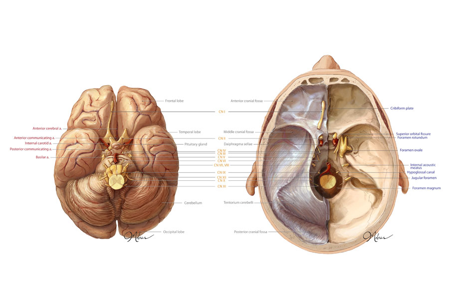 Anatomy of the Brain and Cranium – Art as Applied to Medicine