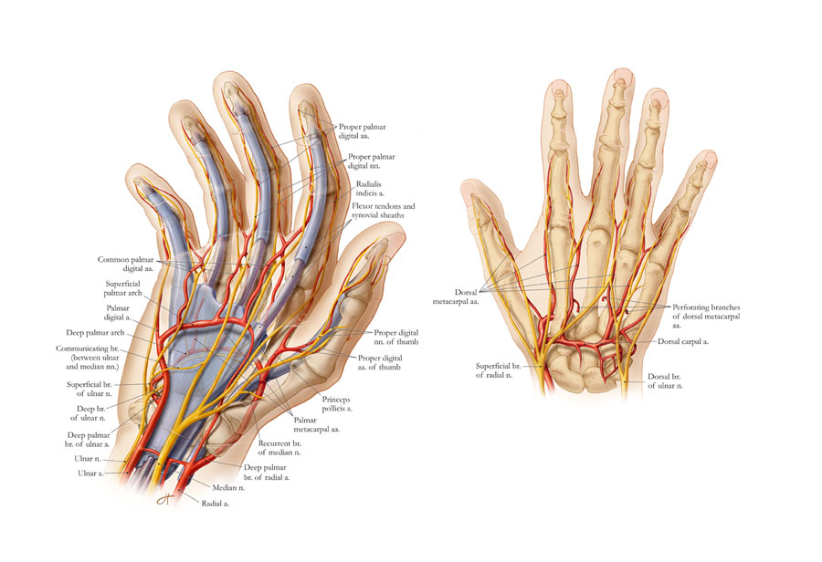 Anatomy Of The Hand Art As Applied To Medicine