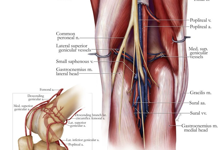 Anatomy Of The Popliteal Fossa Art As Applied To Medicine