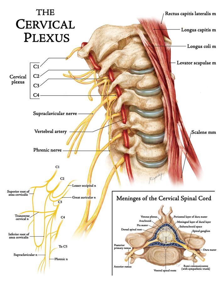 The Cervical Plexus Art As Applied To Medicine
