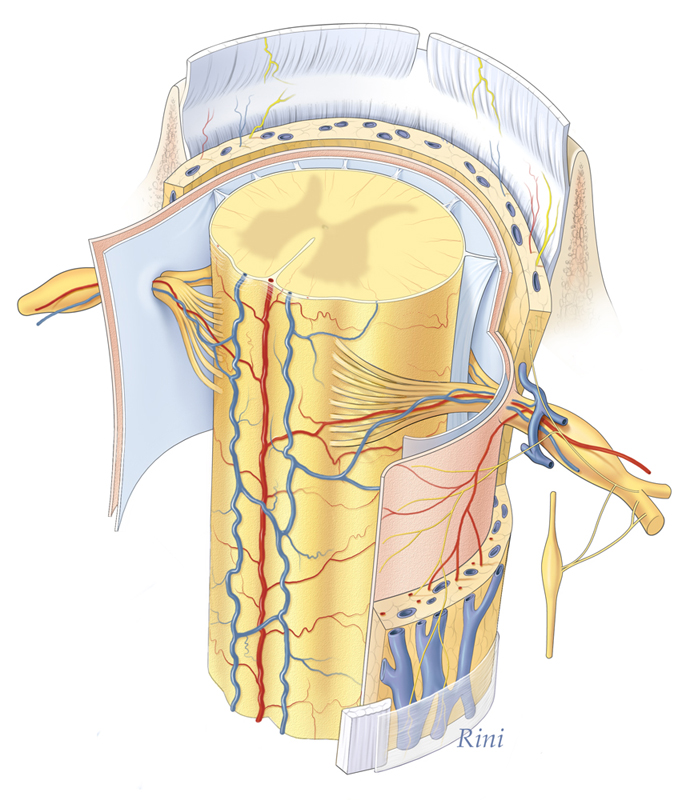 Cross Section Human Spinal Cord Art As Applied To Medicine