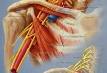Brachial Plexus. Adobe Photoshop. Illustration © Elizabeth Cook