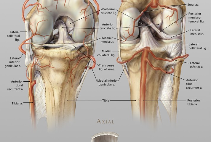 Anatomy Of The Knee Art As Applied To Medicine