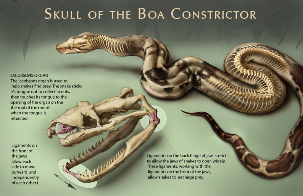 Skull of the Boa Constrictor – Art as Applied to Medicine