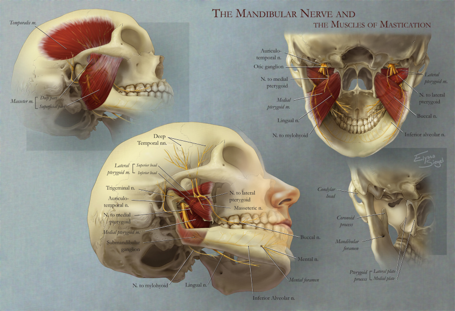 Mandibular Nerve and the Muscles of Mastication – Art as Applied to ...