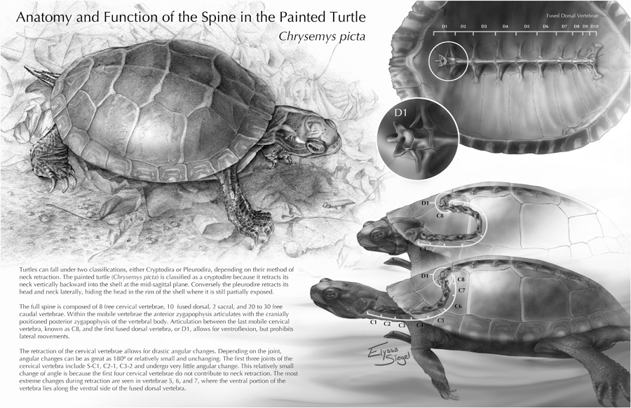 Anatomy And Function Of The Spine In The Painted Turtle Art As
