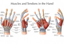 Muscles and Tendons in the Hand. Adobe Photoshop. Illustration @ Elizabeth Weissbrod