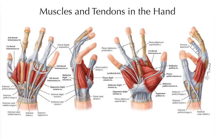 Muscles And Tendons In The Hand Art As Applied To Medicine