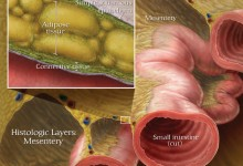 Histological Layers of the Mesentery. Adobe Photoshop. Illustration © Elizabeth Weissbrod
