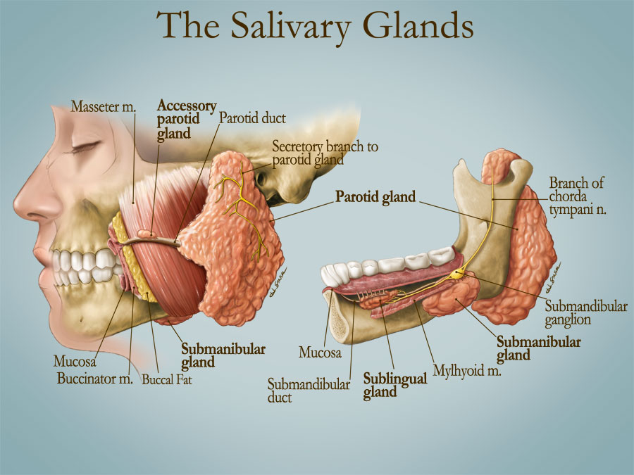 The Salivary Glands – Art as Applied to Medicine