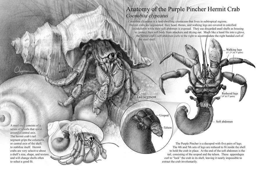 Anatomy of the Purple Pincher Hermit Crab – Art as Applied to Medicine