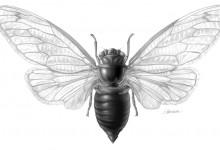 jfairman_cicada