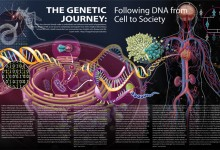 The Genetic Journey: Following DNA from Cell to Society. Graphite, Pen and Ink, Coquille Board, Adobe Photoshop and Illustrator. Illustration by Jennifer E. Fairman, MA, CMI, FAMI © JHU
