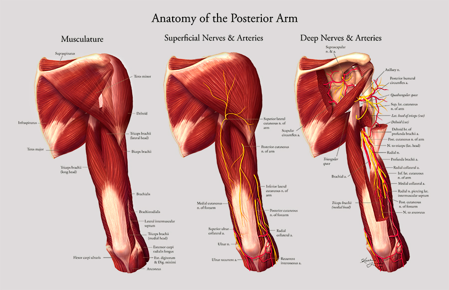 Anatomy of the Posterior Arm – Art as Applied to Medicine