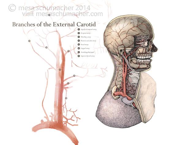External carotid artery branches – Art as Applied to Medicine