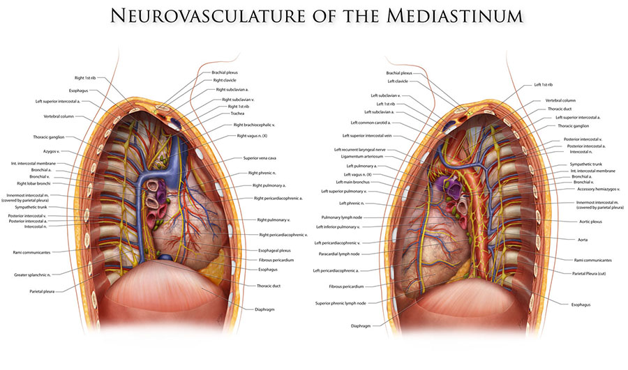 Neurovasculature of the Mediastinum – Art as Applied to Medicine
