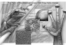Toe Pads of the American Green Tree Frog (Hyla cinerea). Graphite, Adobe Photoshop. Illsutration © Michael Silver
