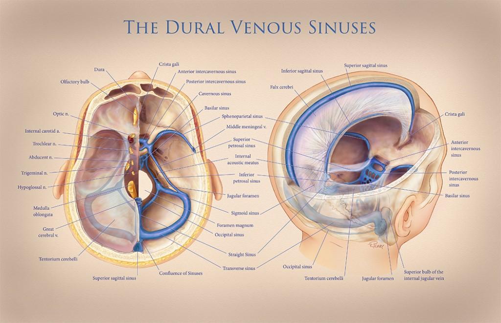 Atemberaubend Dural Venous Sinuses Anatomy Fotos Menschliche