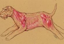 Dog Musculoskeletal Anatomy. Colored pencil. © Johns Hopkins University, Artist: Tim Phelps, MS, FAMI
