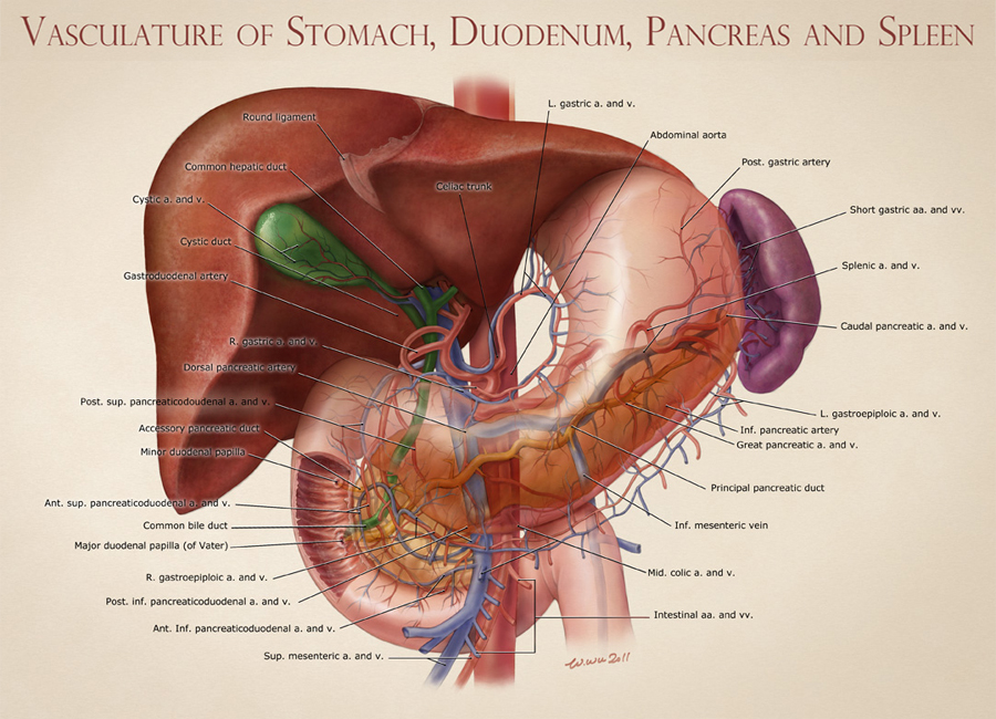Vasculature of Stomach, Duodenum, Pancreas, and Spleen – Art as ...